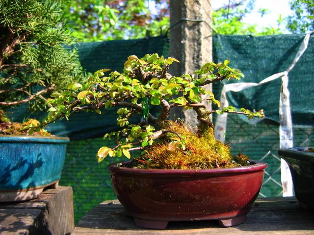 Bonsai de Ulmus Parvifolia Inclinado pelo vento- Continuação do controlo dos novos ramos