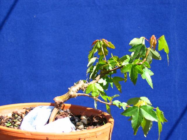 Bonsai de Acer Tridente agarrado a pedra- Colocação de pedra entre as raizes no acer trident