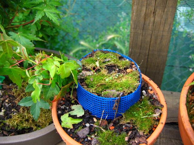 Bonsai de Acer Tridente agarrado a pedra- Tentativa de criação de raizes na zona do nebari