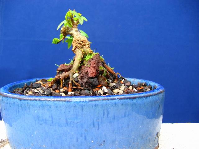 Bonsai de Acer Tridente agarrado a pedra- Forte poda nas raizes, ramos e colocação em vaso