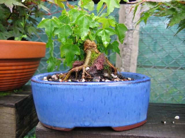 Bonsai de Acer Tridente agarrado a pedra- Arranque da arvore com muita força
