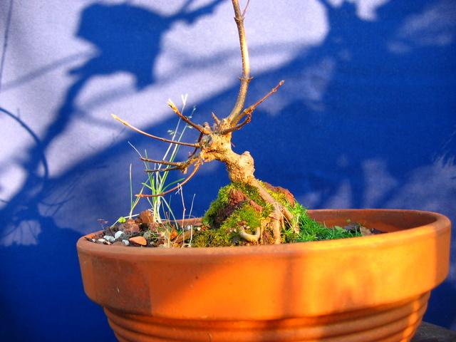 Bonsai de Acer Tridente agarrado a pedra- Preparação de bonsai para um encherto e muda de vazo