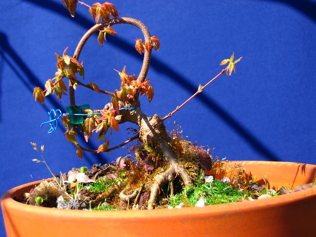 Bonsai de Acer Tridente agarrado a pedra- Encherto de un bonsai de acer tridente