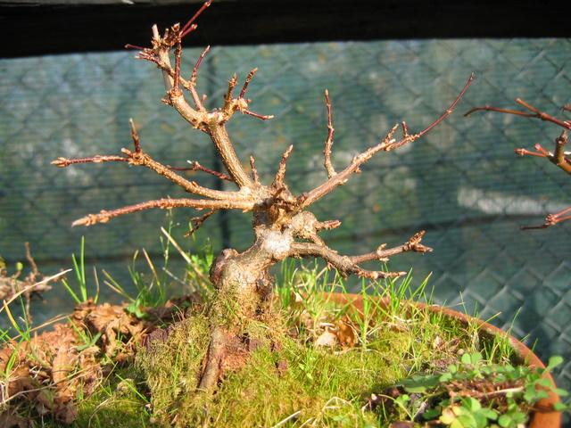 Bonsai de Acer Tridente agarrado a pedra- O enxerto não soldou ao tronco, vou rever a estrutura deste bonsai