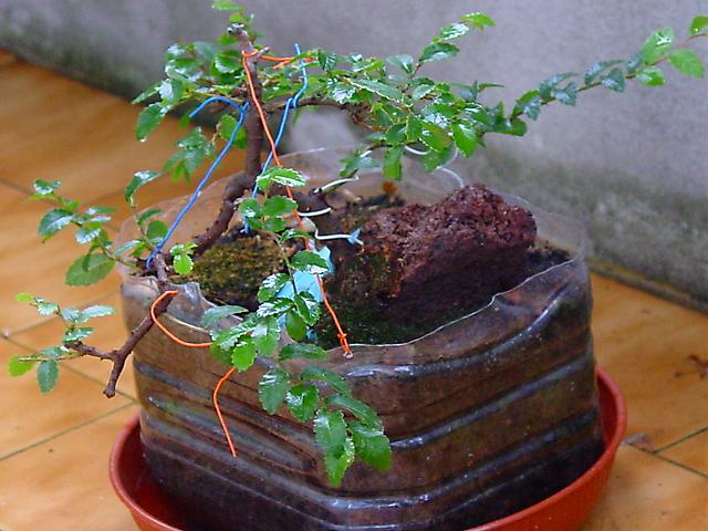 Ulmus Parvifolia agarrado a pedra em Semi cascata- Uma Vista do outro lado