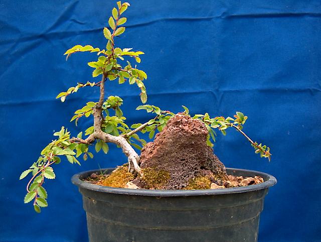 Ulmus Parvifolia agarrado a pedra em Semi cascata- Muda para vaso maior para aumentar a folhagem