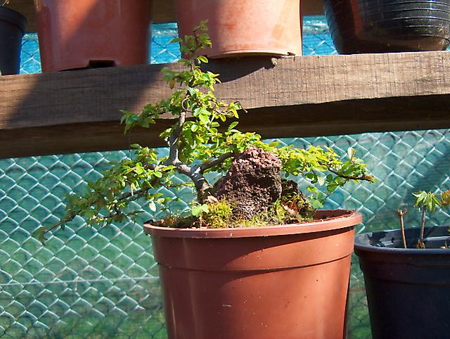 Ulmus Parvifolia agarrado a pedra em Semi cascata- Verificação das raizes e muda de vaso