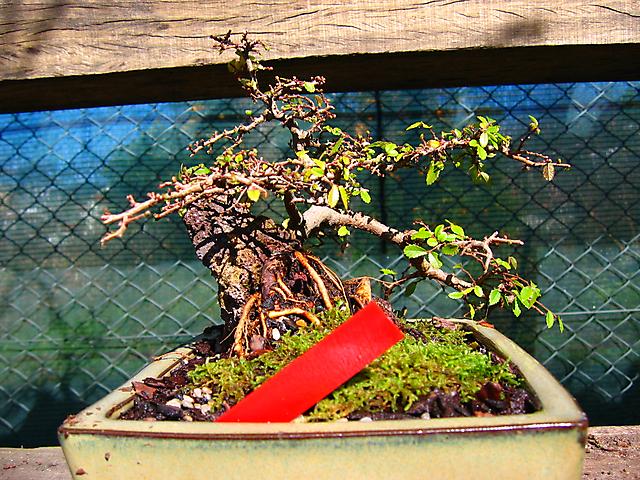 Ulmus Parvifolia agarrado a pedra em Semi cascata- Foto do outro lado para ver as raizes.