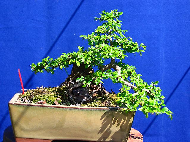 Ulmus Parvifolia agarrado a pedra em Semi cascata- Boa estrututa principal mas