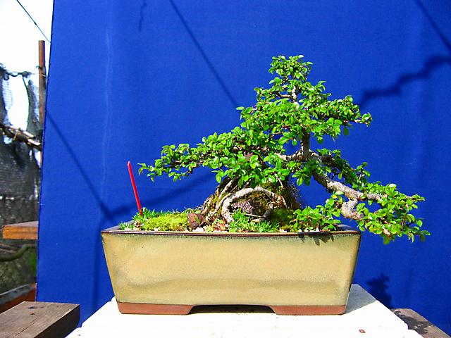 Ulmus Parvifolia agarrado a pedra em Semi cascata- Ano para encher os tufos do bonsai