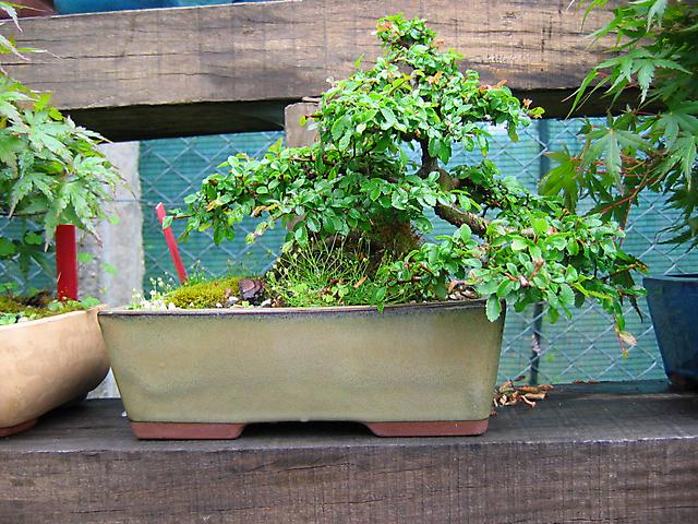 Ulmus Parvifolia agarrado a pedra em Semi cascata- Simples cortes das folhas