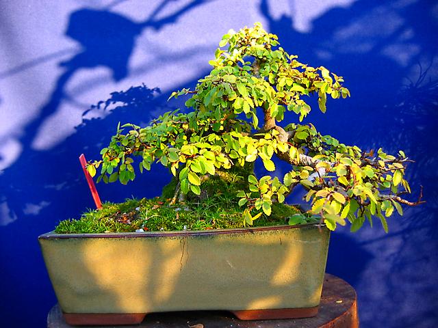 Ulmus Parvifolia agarrado a pedra em Semi cascata- Fim de ano com bastantes folhas