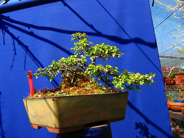 Ulmus Parvifolia agarrado a pedra em Semi cascata- Afinal o inverno foi duro e perdeu algumas folhas