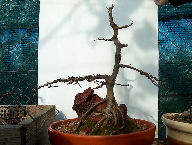 Acer trident agarado a pedra informal- Poda e amarranço de inverno