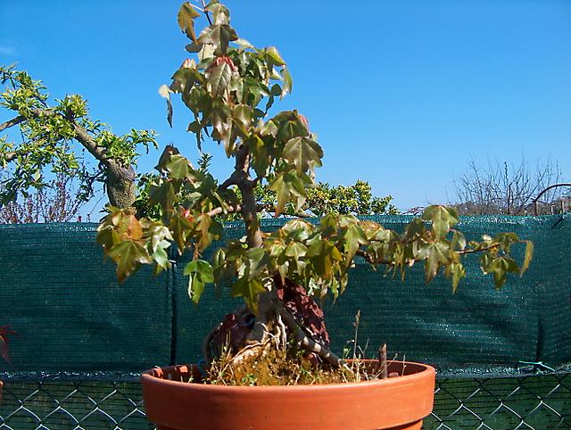 Acer trident agarado a pedra informal- Arranque de primavera tardio