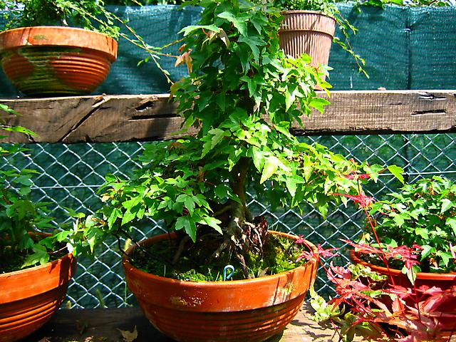 Acer trident agarado a pedra informal- Bom comportamento dos ramos.