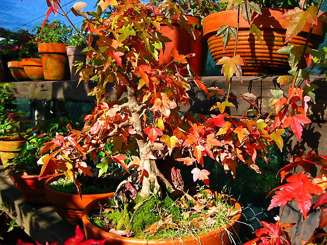 Acer trident agarado a pedra informal- Magnificas cores de Outono