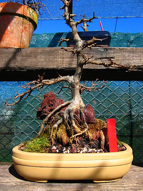 Acer trident agarado a pedra informal- Mudança de vaso e poda geral.