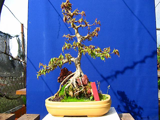 Acer trident agarado a pedra informal- A falha de ramos continua.
