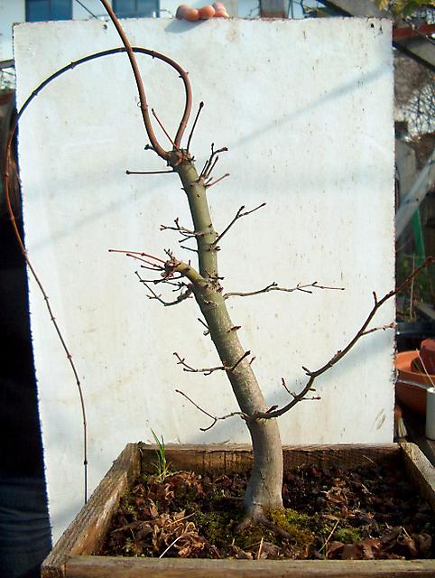 Acer Palmatum com pequena curva- deixe dois ramos para fazer uns enxertos no tronco