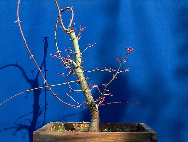 Acer Palmatum com pequena curva- Criação dos dois enxertos no tronco