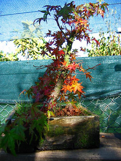 Acer Palmatum com pequena curva- Core de Outono no acer palmatum