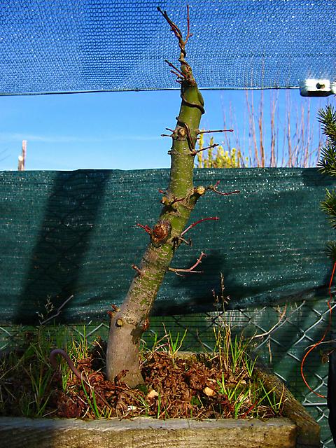 Acer Palmatum com pequena curva- Corte e colocar arrame no apex