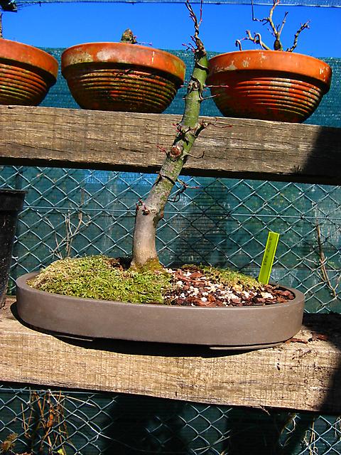 Acer Palmatum com pequena curva- Mudança de vaso