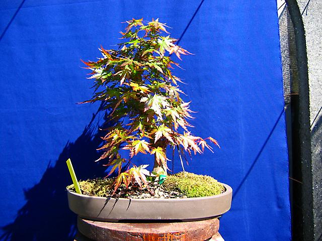 Acer Palmatum com pequena curva- Poda de ramos e Metsumi com fartura