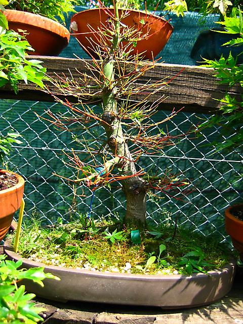 Acer Palmatum com pequena curva- defoliação total
