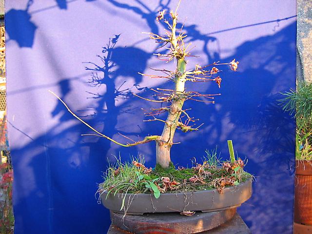 Acer Palmatum com pequena curva- Desemvolvimento de Outono muito bom