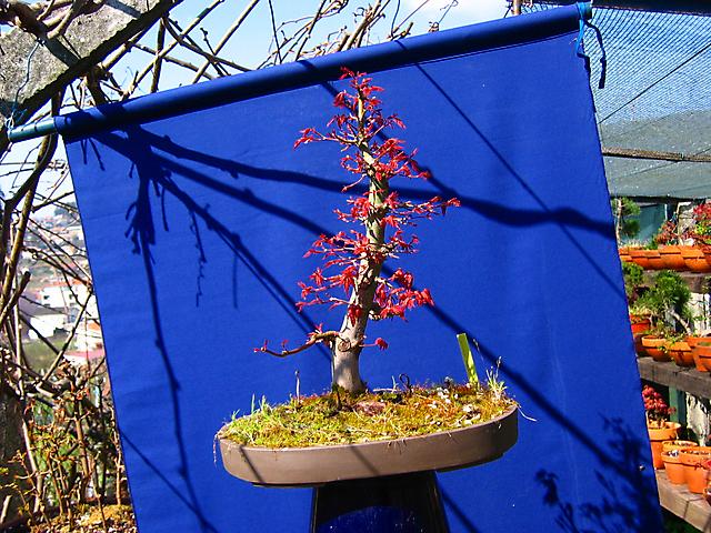 Acer Palmatum com pequena curva- Cores de primavera e poda de Inverno