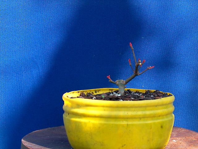 Acer Palmatum Deshojo shohin- Colocar em terra o encherto, poda leve
