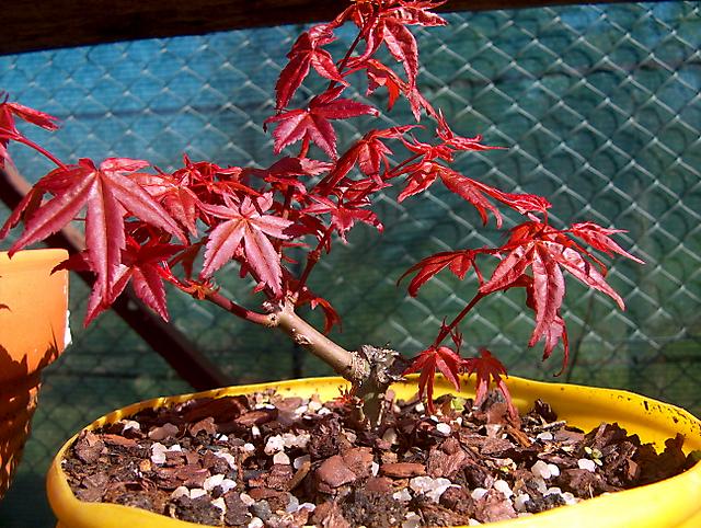 Acer Palmatum Deshojo shohin- Só rega e adubo sem tocar nas raizes