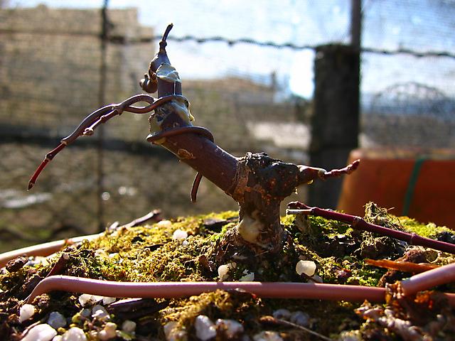 Acer Palmatum Deshojo shohin- Muda de vaso e poda de estrutura e arrames