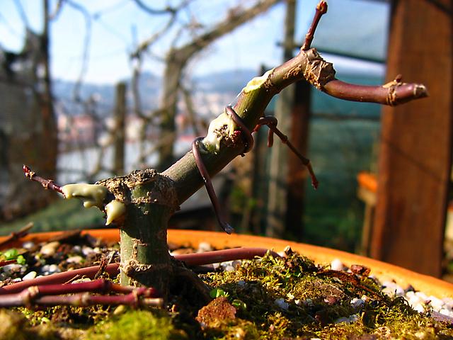 Acer Palmatum Deshojo shohin- Muda de vaso e poda de estrutura e arrames outra foto