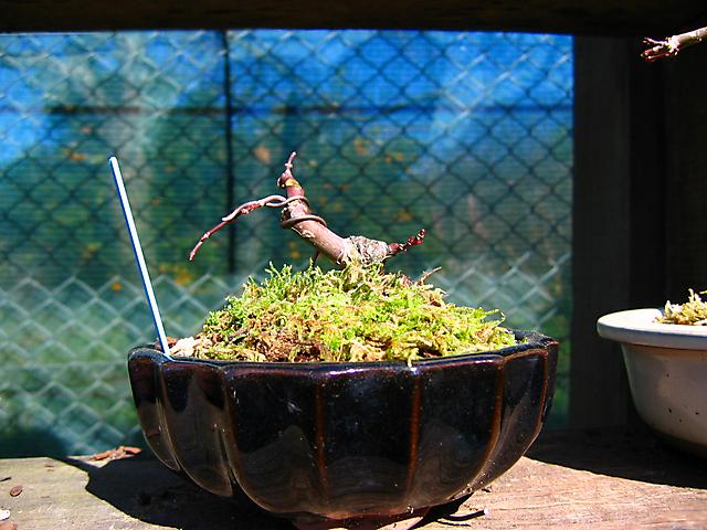 Acer Palmatum Deshojo shohin- Mudança de vaso e corte do Apex