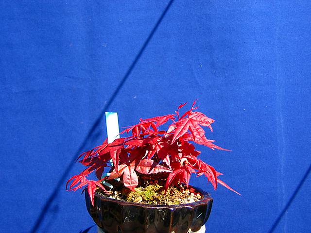 Acer Palmatum Deshojo shohin- Metsumi durante toda a época.