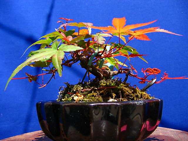 Acer Palmatum Deshojo shohin- Controlo dos ramos com espetos