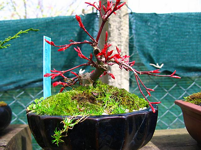 Acer Palmatum Deshojo shohin- Arranque de primavera, vai haver tesourada.