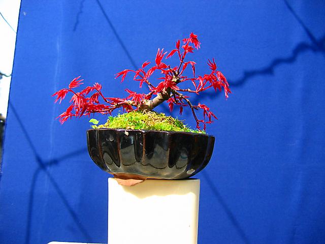 Acer Palmatum Deshojo shohin- Foto antes do metsumi