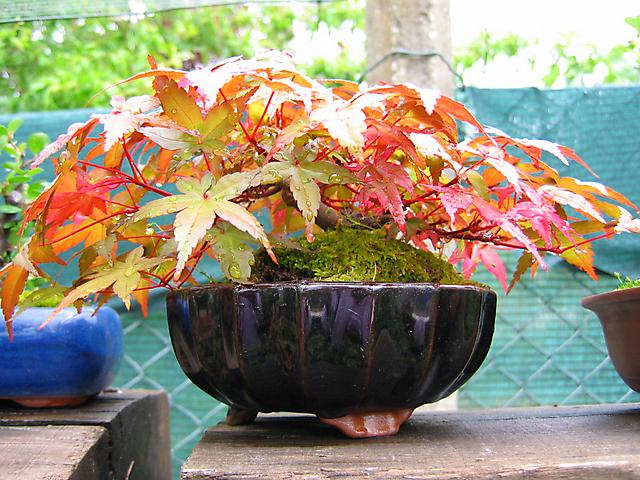 Acer Palmatum Deshojo shohin- Foto em pleno verão