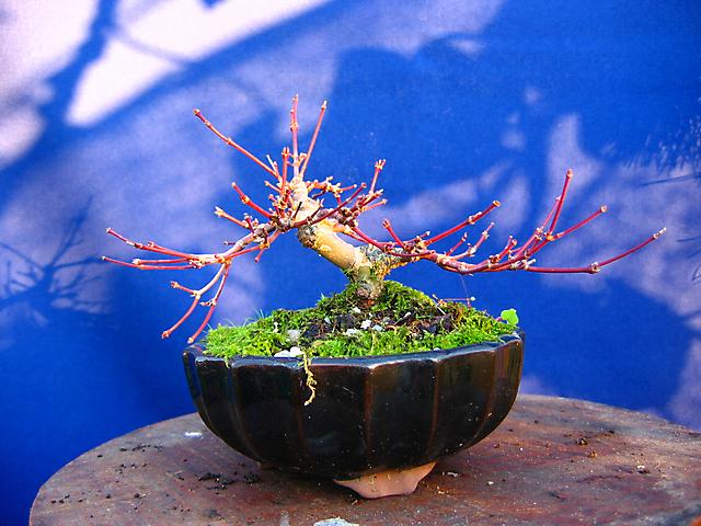 Acer Palmatum Deshojo shohin- Poda de inverno