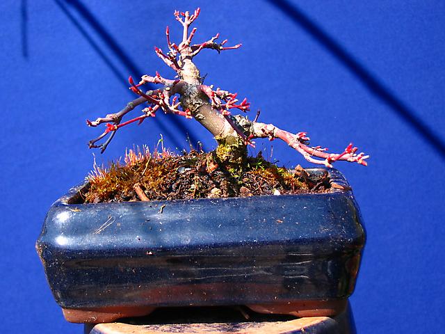 Acer Palmatum Deshojo shohin- Depois da poda de inverno e muda de vaso