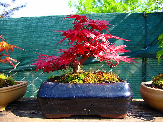 Acer Palmatum Deshojo shohin- Arvore já muito bem formada e com as cores de primavera