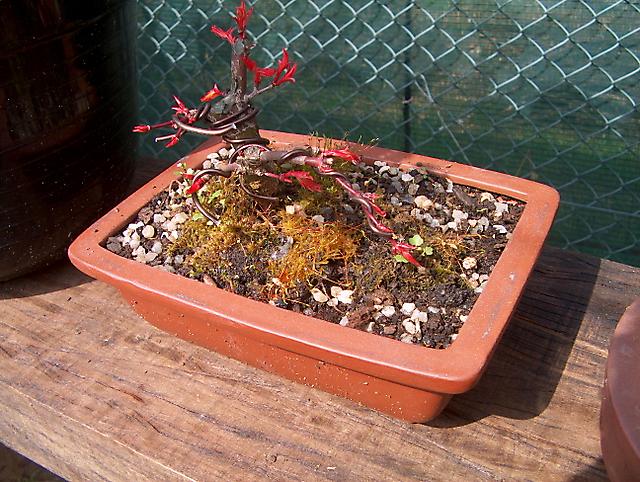 Acer Palmatum Beni Stukasa - shohin - Muda de vaso e poda dos ramos e colocação de arames