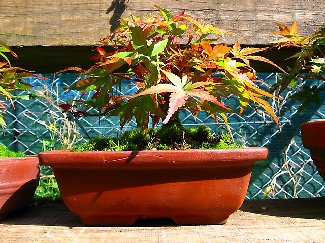 Acer Palmatum Beni Stukasa - shohin - Core de Outono no acer palmatum Beni stucasa