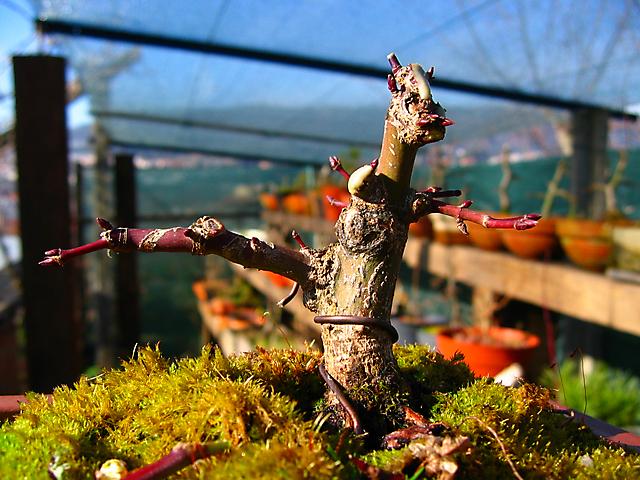 Acer Palmatum Beni Stukasa - shohin - Poda e colocação de arames de inverno