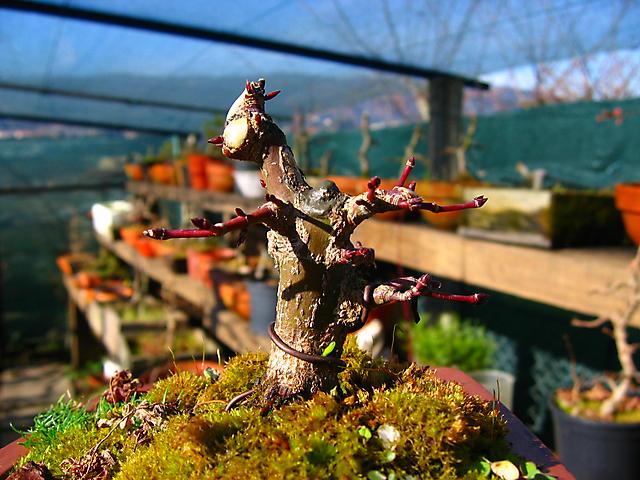 Acer Palmatum Beni Stukasa - shohin - Colocação de arames e poda geral