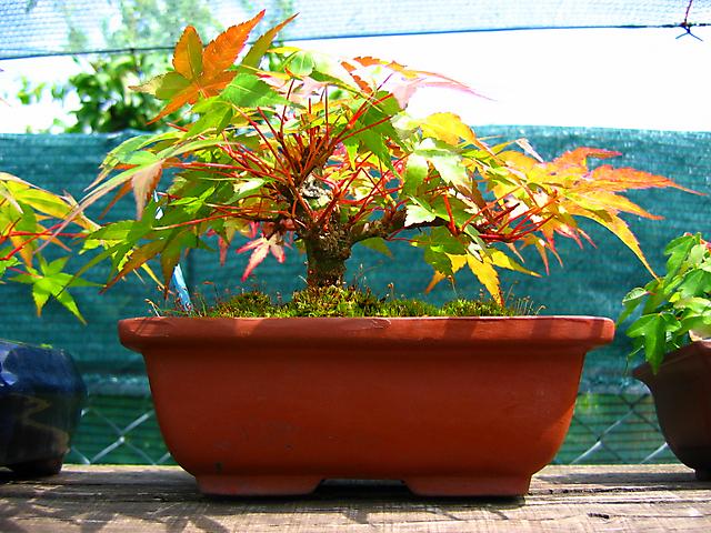 Acer Palmatum Beni Stukasa - shohin - A estrutura e espessura do tronco a aumentar